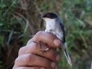 Curruca cabecinegra (Sylvia melanocephala)