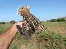 Agachadiza comun (Gallinago gallinago)