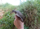 Andarrios chico (Actitis hypoleucos)