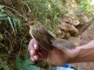 Buscarla pintoja (Locustella naevia)