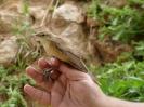 Carricero comun (Acrocephalus scirpaceus)