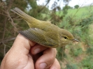 Mosquitero ibérico (Phylloscopus ibericus)