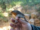 Petirrojo (Erithacus rubecola)