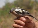 Pinzon vulgar. Fringilla Coelebs africanus